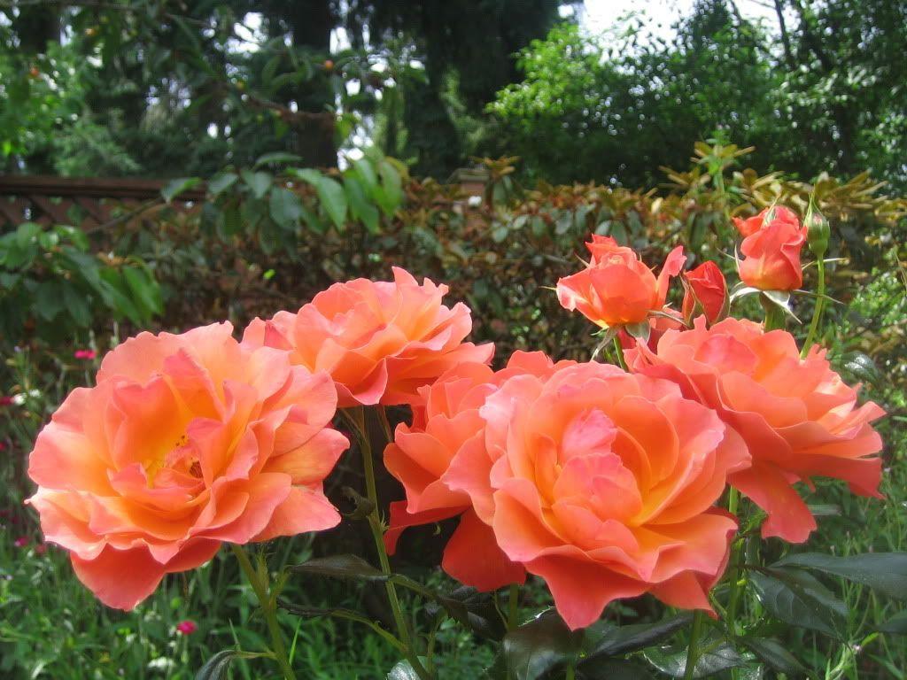 Great Livinu0027 Easy Rose  Apricot Orange