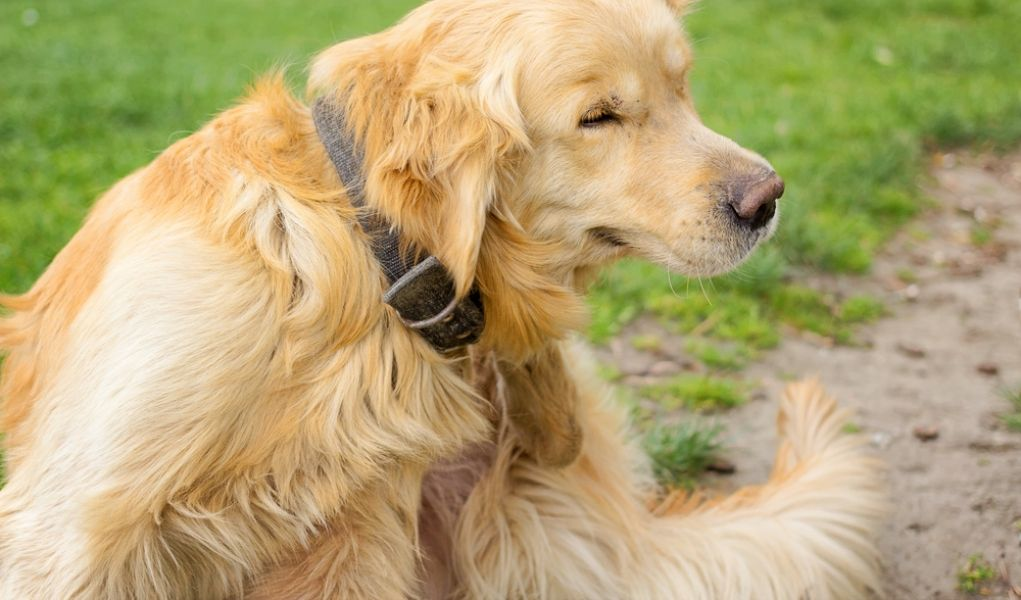 My 3 Favorite Home Remedies For Fleas On Dogs In 2020 Home Remedies For Fleas Flea Remedies Flea Shampoo For Dogs