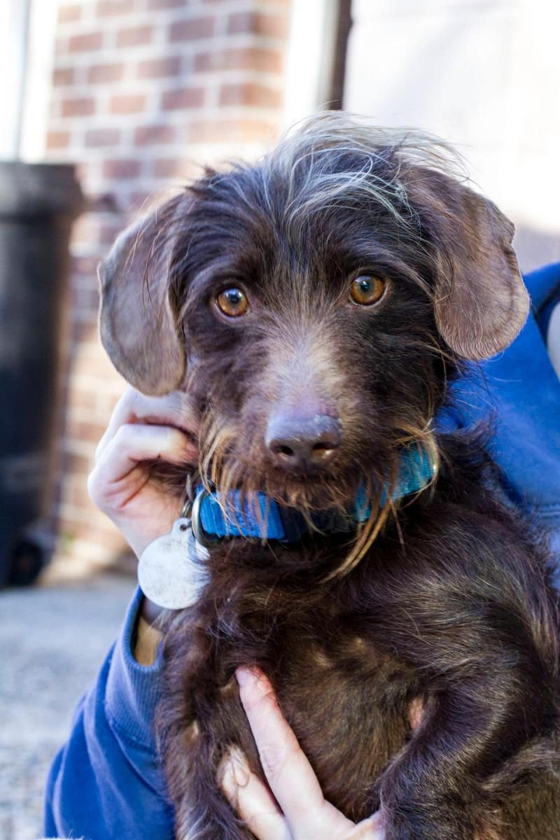 Adopt Zephyr on Adoptable dachshund dog, Dachshund mix