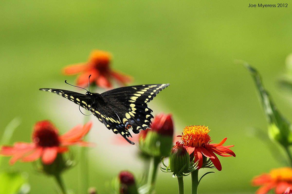 Butterfly in Flight Beautiful butterflies, Butterfly
