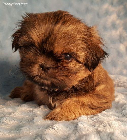 Shih Tzu Pictures N163q5ep63g Shihtzu Dogs Pinterest Shih