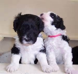 Portuguese Water Dog Bing Images Portuguese Water Dog Portuguese Water Dog Puppy Water Dog