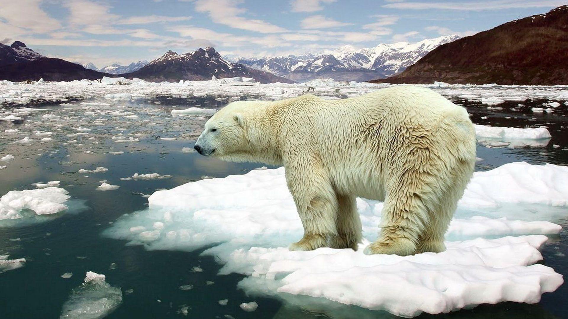 What If Global Warming Is A Myth? Polar bear wallpaper