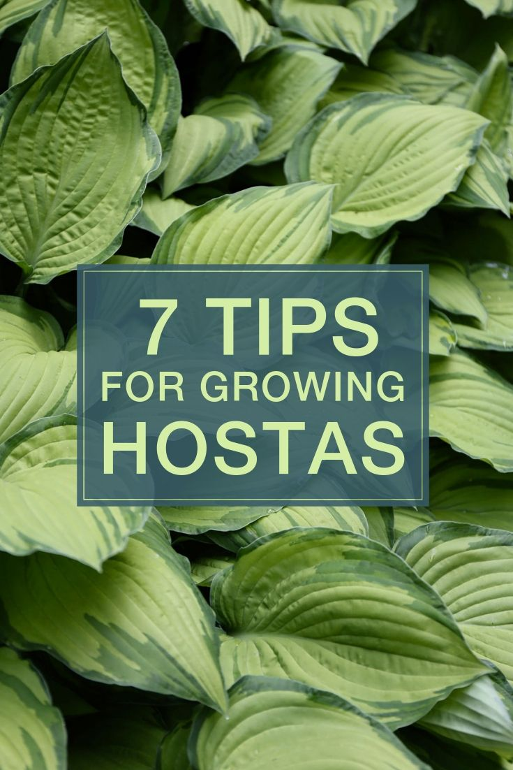 7 tips for growing hostas shade landscaping shade