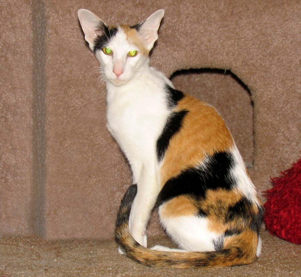 Calico Oriental Siamese Oriental Shorthair Cats Oriental