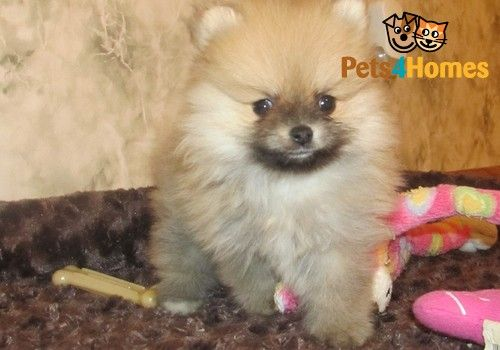 Micro Teacup Pomeranian Puppies Liverpool Merseyside