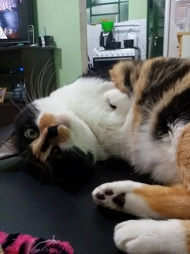Esperança - LoveMeow - une chatte heureuse malgré son handicap malformation des deux pattes avant (2016)