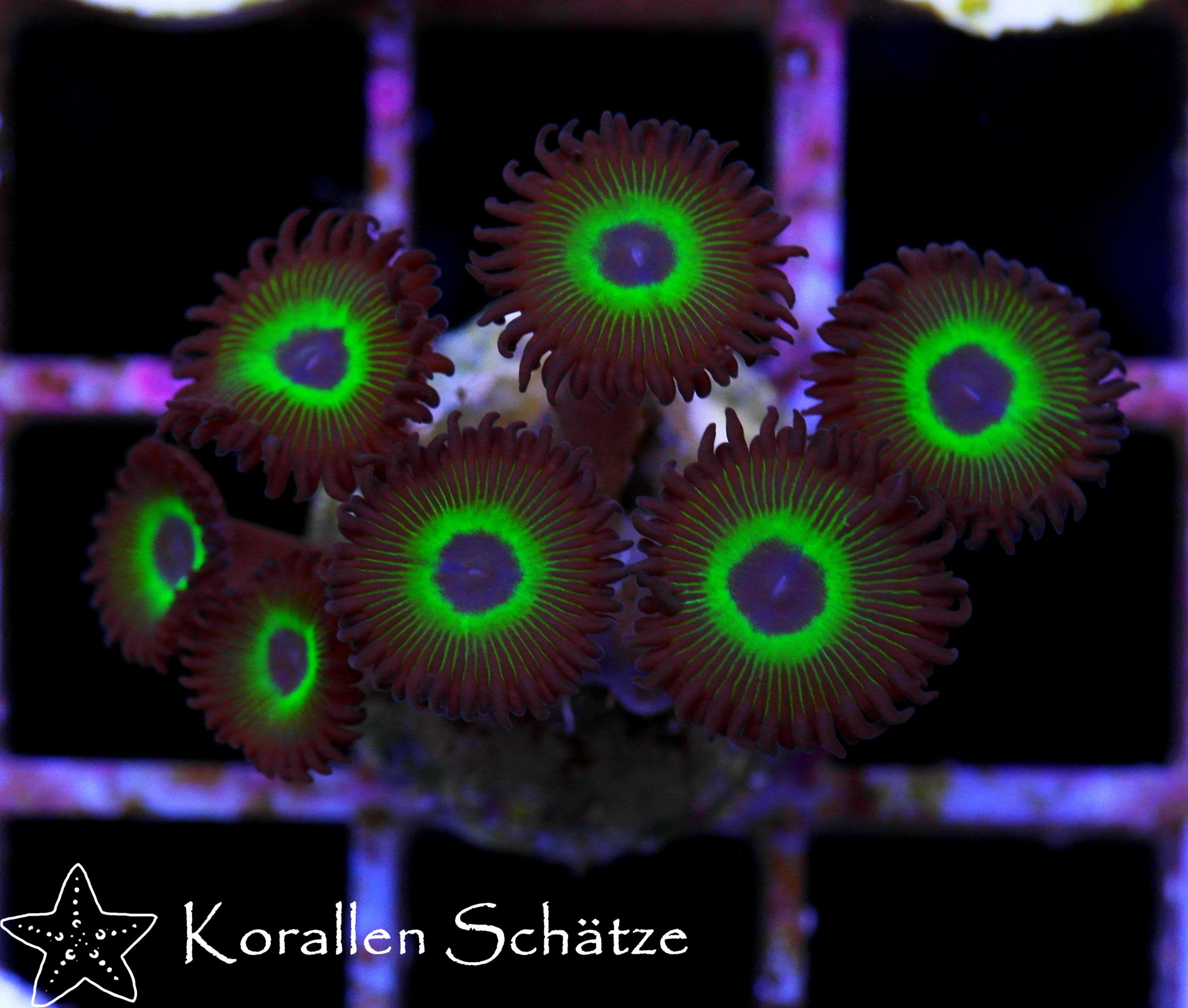 Mean Green Zoa Corals Pinterest