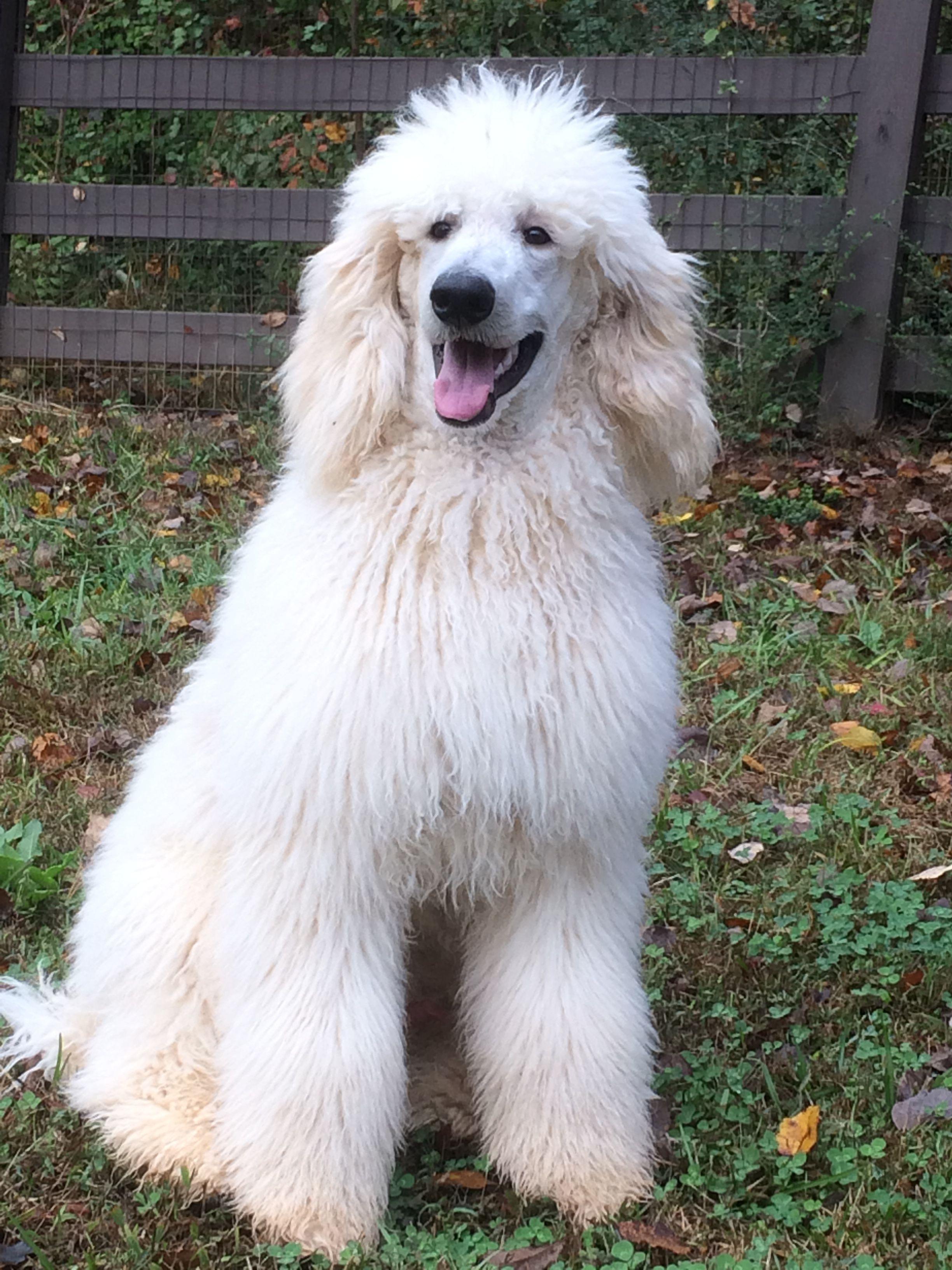 Merlin white Standard Poodle Standard poodle, Poodle, Dogs