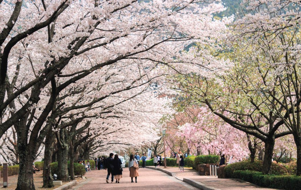 Top 10 Places To See Cherry Blossoms In Kyoto Gaijinpot Travel Cherry Blossom Japan Cherry Blossom Kyoto Travel