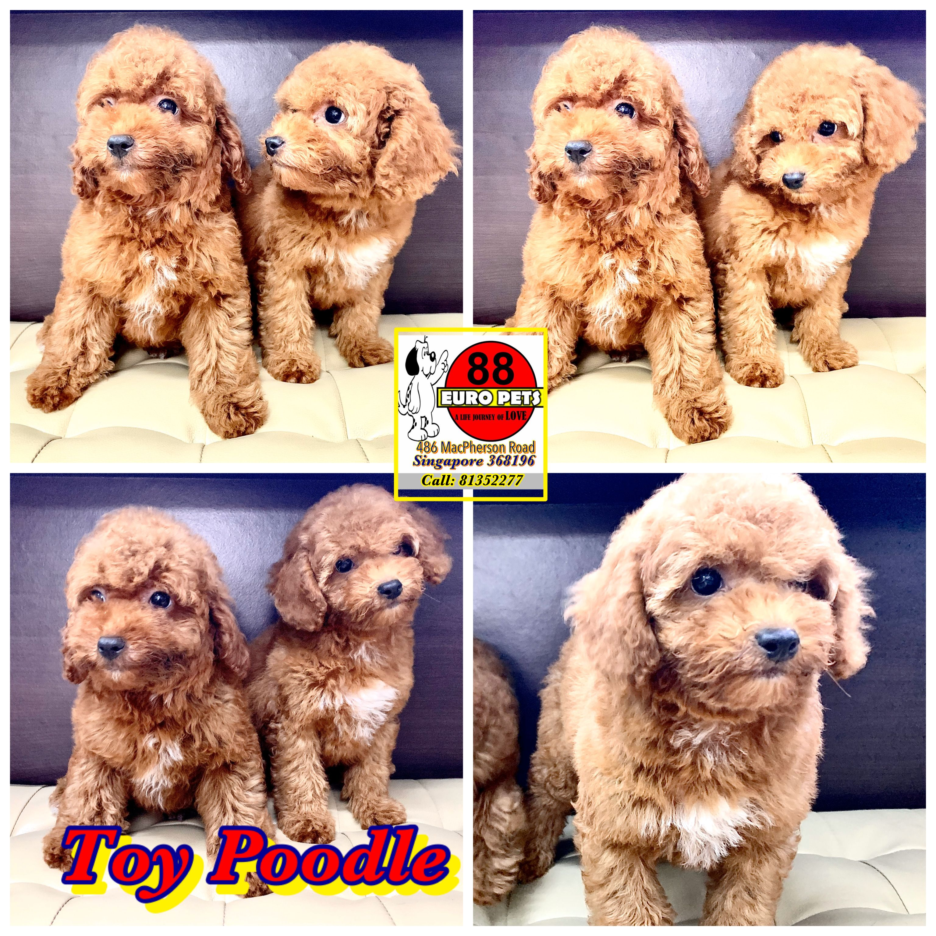 Toy Poodle Puppies For Sale Harrods Teddy Bear Poodle Puppies For Sale Toy Poodle Puppies Toy Poodles For Sale