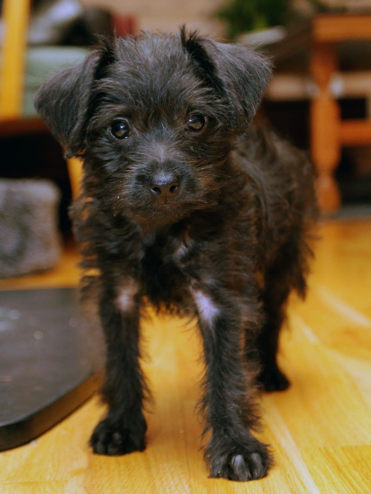 PiniPoo! (Pincherpoodle mix) What an adorable little