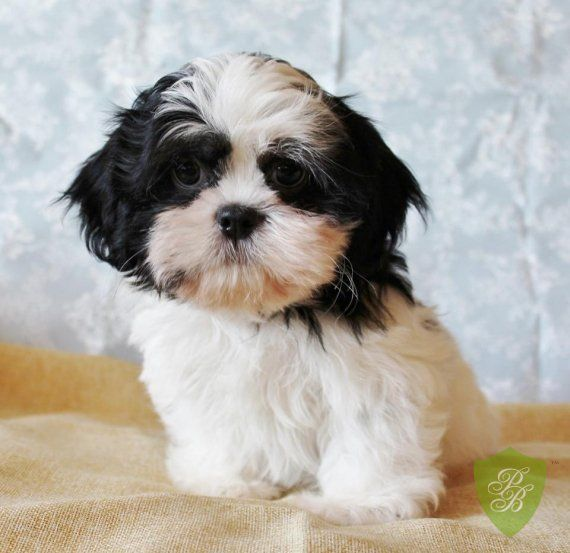 Puppies For Sale Michigan Shih Tzu Breeders With Images
