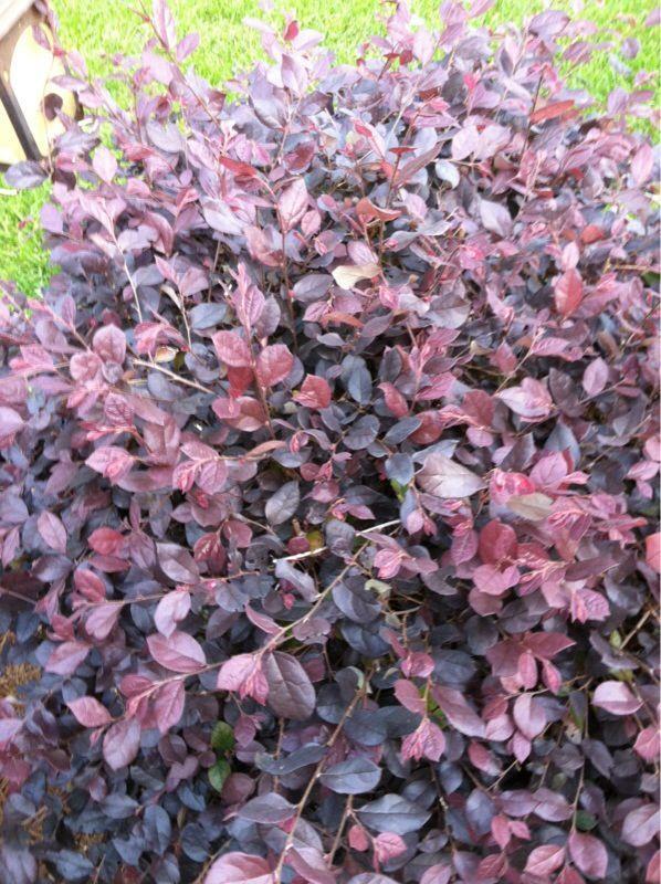 Free Plant Identification Purple Shrubs Purple Plants Full Sun