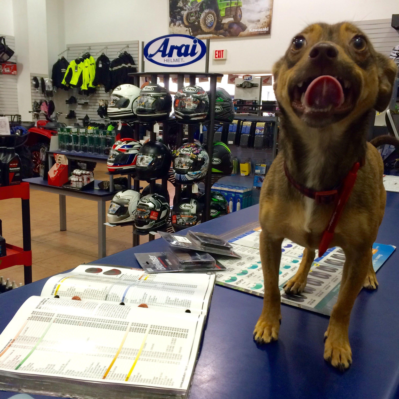 All Pets Are Welcome At Honda Yamaha Triumph Kawasaki Of Savannah. Wally  Can Be Found Playing Around The Shop!