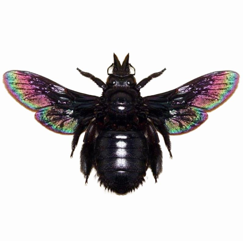 Xylocopa Latipes Black Iridescent Carpenter Bee Indonesia