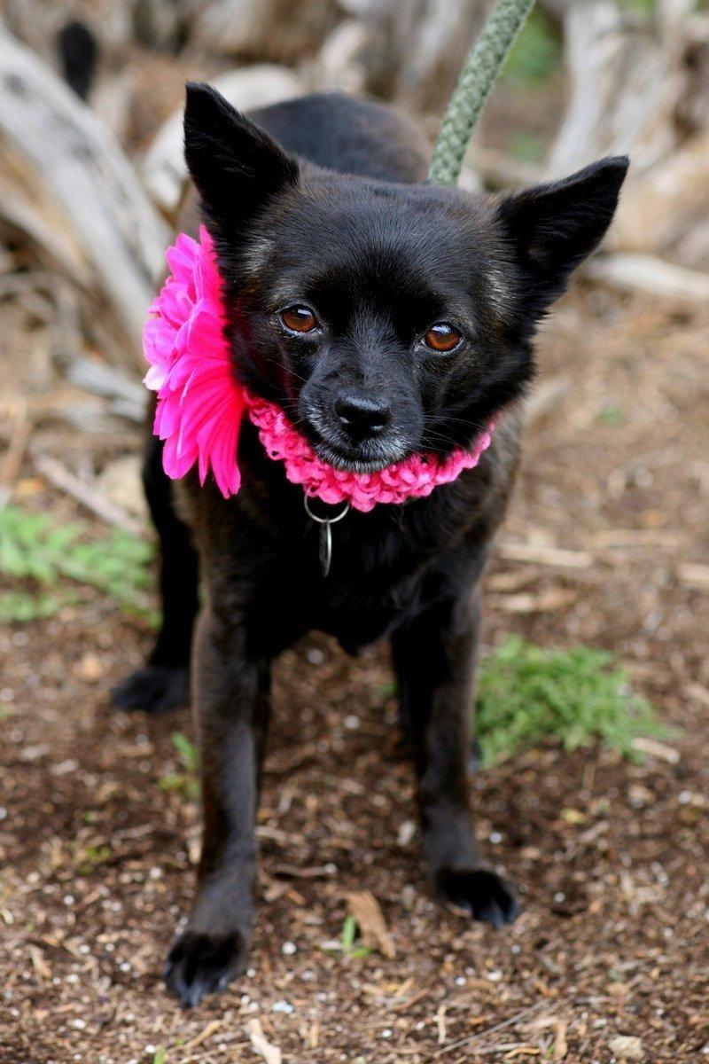 Adopt Nola On Petfinder Schipperke Dog Dog Adoption Animals