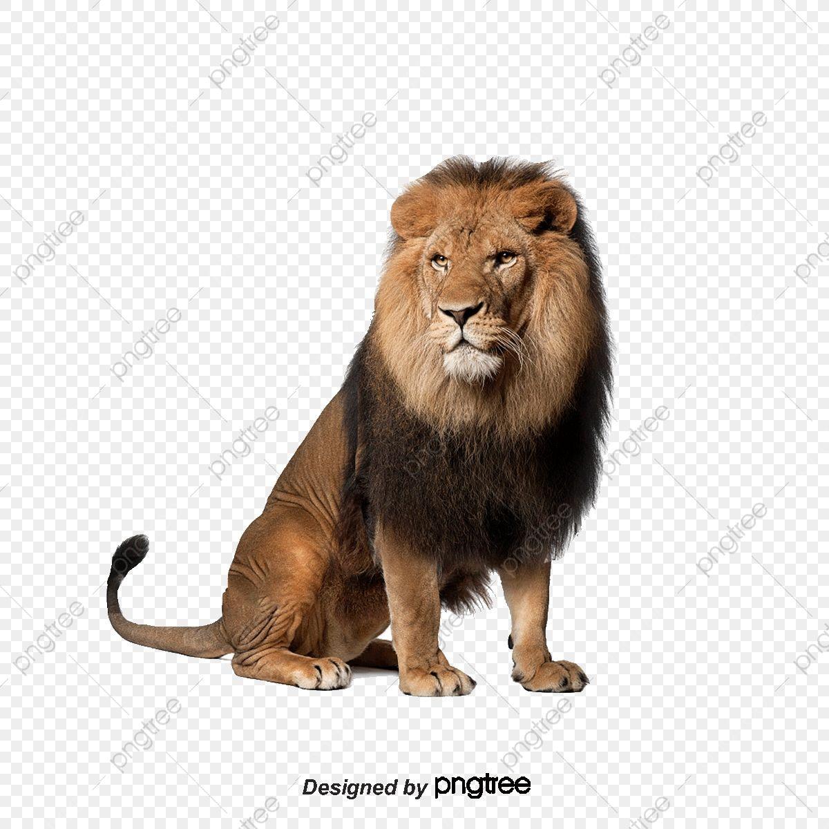 اسد أسد أسد بالغ Png وملف Psd للتحميل مجانا Lion Images Lion King Pictures Lion Clipart