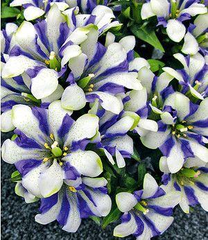 berg enzian blau wei 1 pflanze garten pinterest flowers und garten. Black Bedroom Furniture Sets. Home Design Ideas