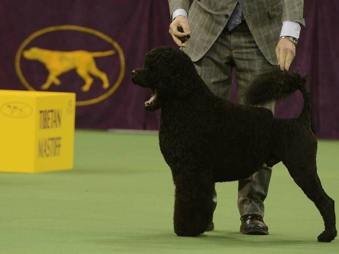 Portuguese Water Dog, showing in the Working Group at the Westminster Kennel Club Dog Show, 2013