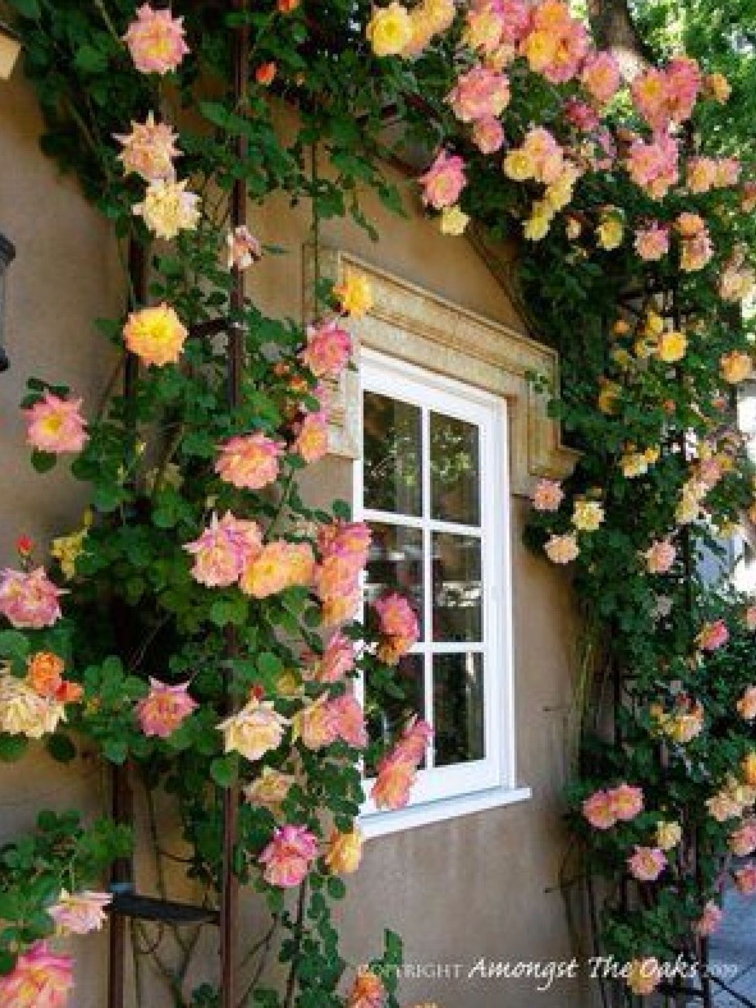 Charming Climbing Rose Trellis Ideas Part - 10: Climbing Roses