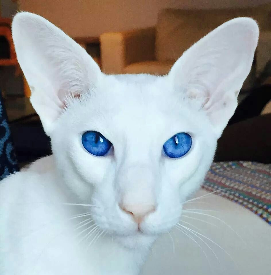 White Oriental Oriental Shorthair Cats Pretty Cats Gorgeous Cats