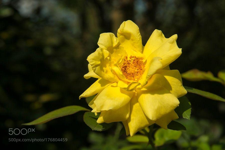 Sarı Gül (Yellow Rose) by ismailcalli. @go4fotos