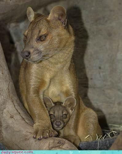Fossa photo # 2 of 2.    Momma fossa & baby fossa!