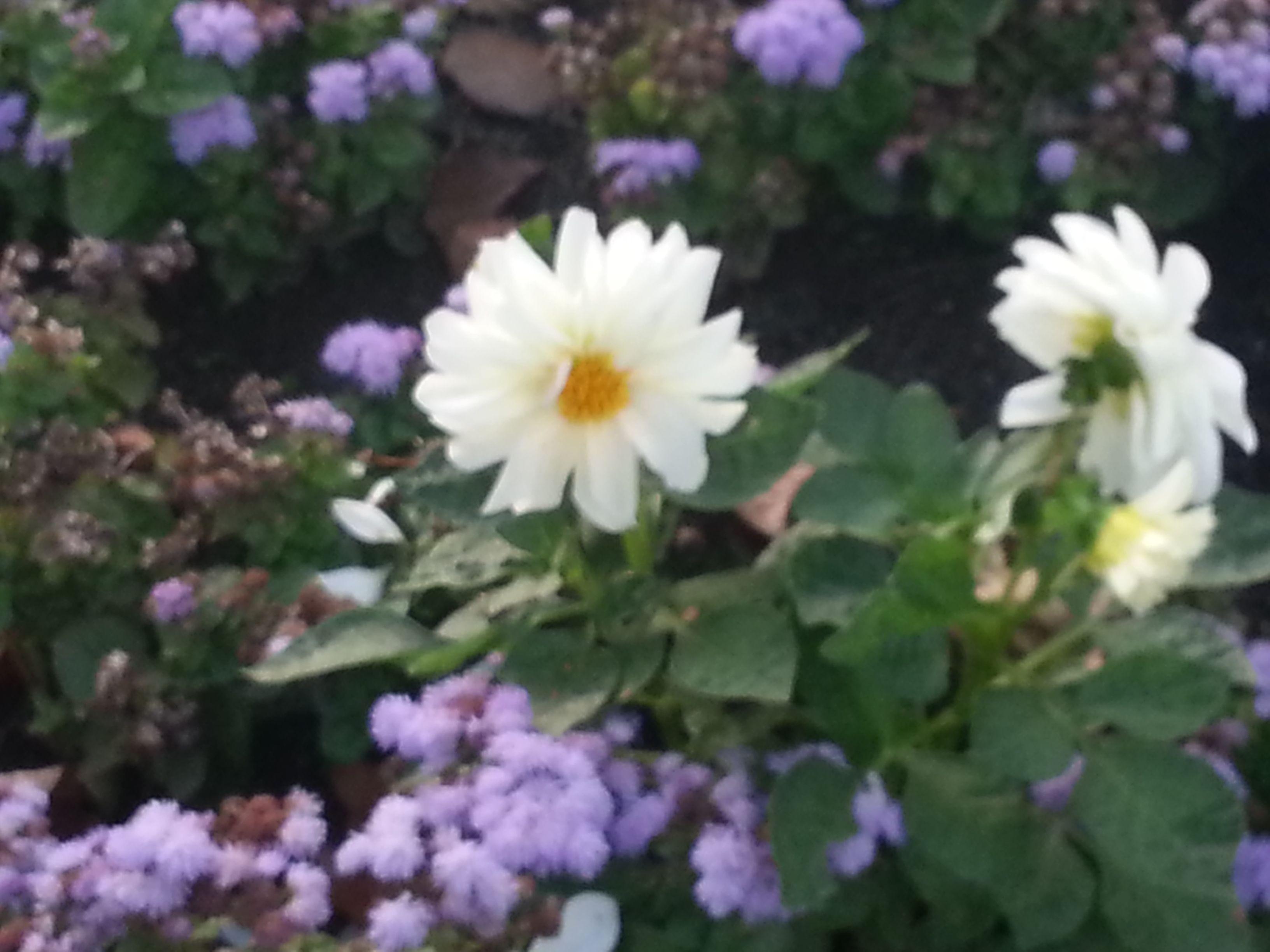 Preciosa flor branca como a neve, en Allariz!!! Paseo do Río Arnoia en Allariz