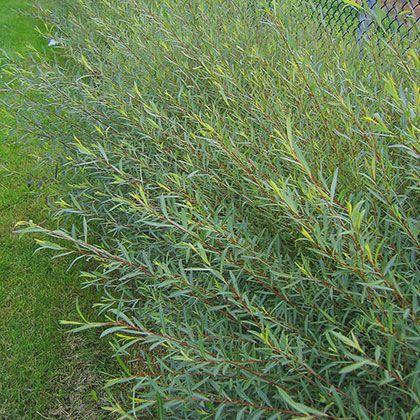 image de salix purpurea gracilis arbuste pinterest shrub. Black Bedroom Furniture Sets. Home Design Ideas