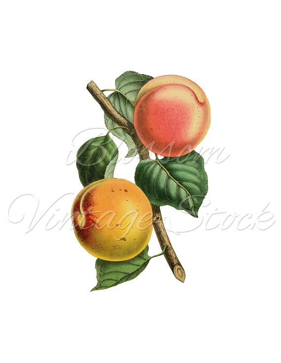 Botanical Fruits, Peach Clipart Vintage Fruit Image for prints, digital artwork, decoupage, wall decor - INSTANT DOWNLOAD - 1634