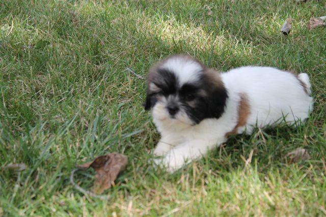 Shih Tzu Puppies For Sale Akron Ohio Shih Tzu Puppy Shih Tzu