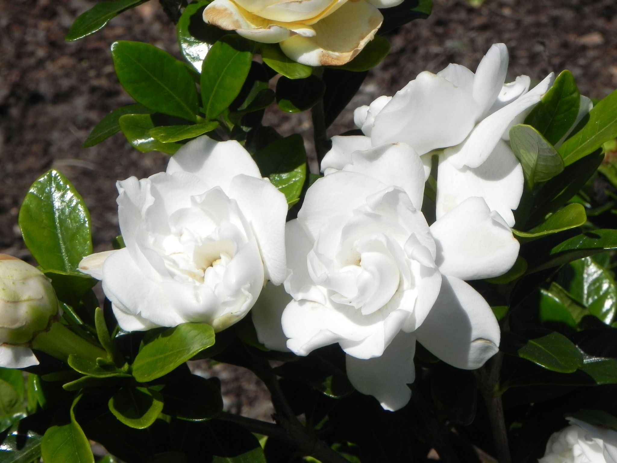 Gardenia Hd Wallpaper Flowers Pinterest Gardenias Flowers And