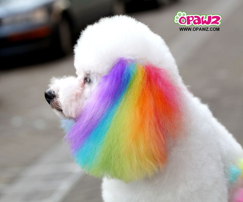 dog hair dye - Google Search | Costumes | Pinterest | Dog hair dye ...