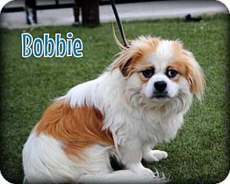 Long Beach Ca Pembroke Welsh Corgi Pekingese Mix Meet Bobbie A Dog For Adoption Pekingese Mix Pembroke Welsh Corgi Corgi