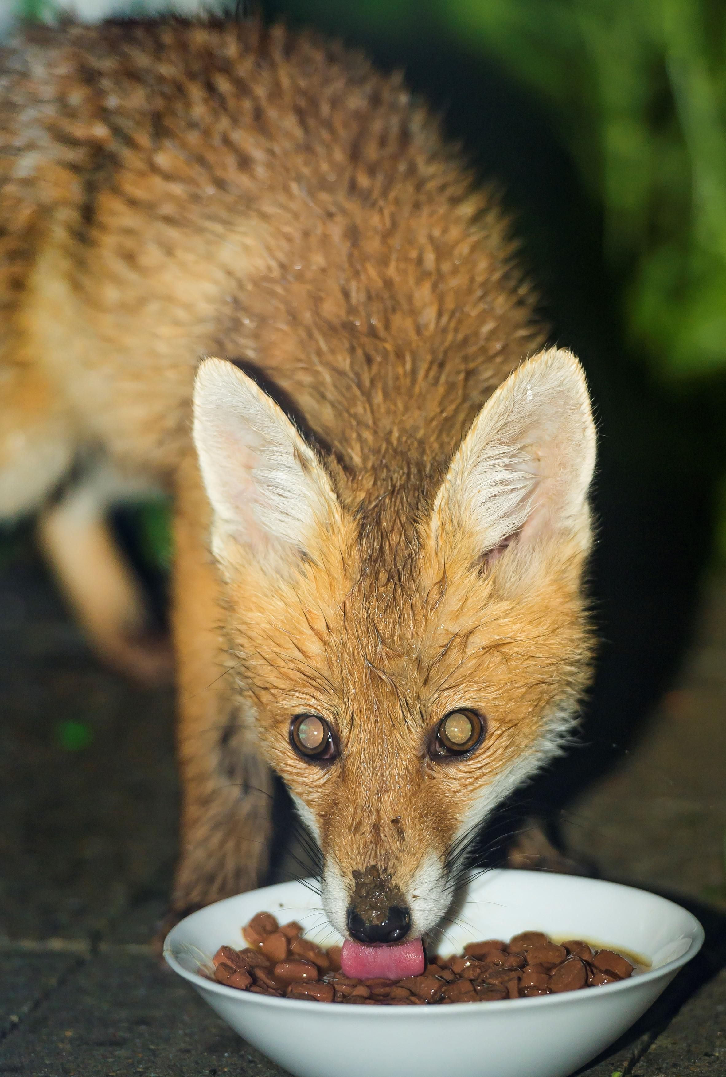 Fox eating cat foodhttpsifttt2nhclsu cat food