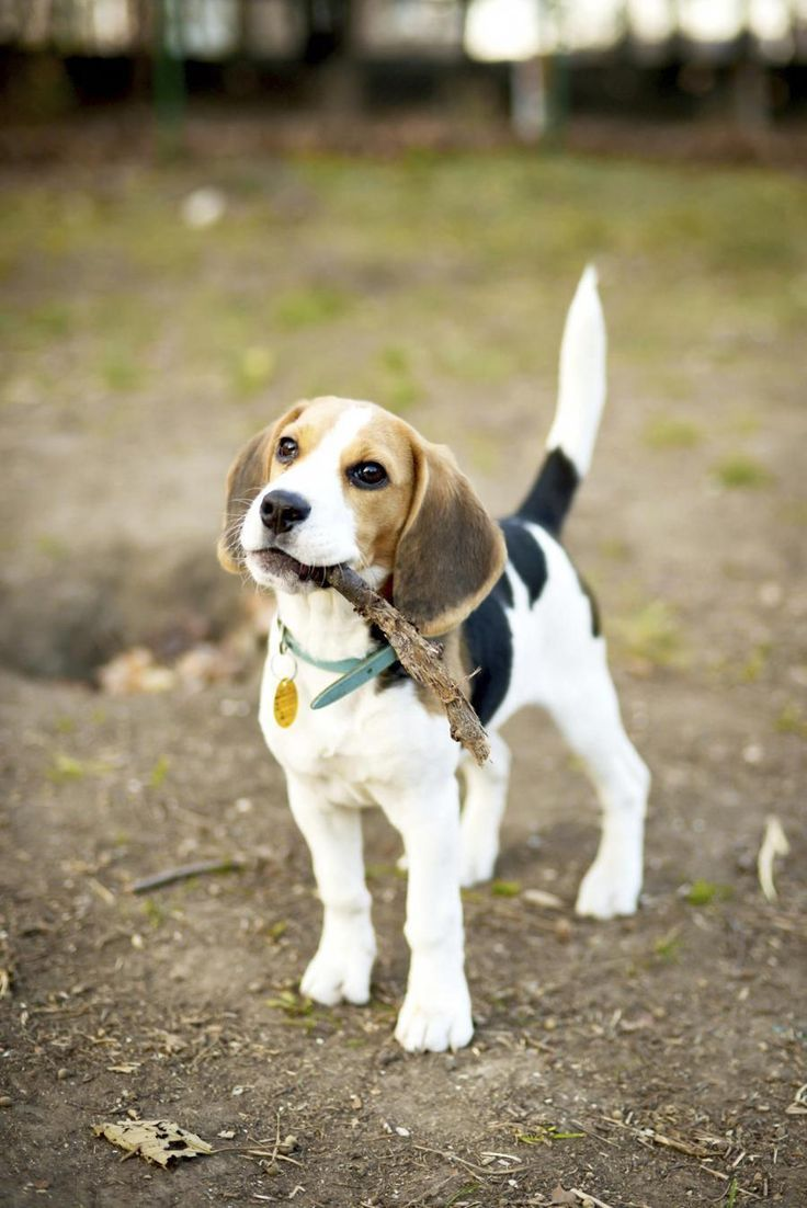 Find Out More Information On Beagles Look At Our Site Via