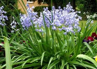 Hyacinthoides Hispanica Spanisches Scilla Hasenglockchen Pflanzen Zierpflanzen Garten