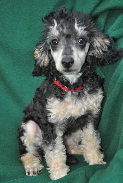 Adopt Fuzzy On Phantom Poodle Poodle Rescue Poodle