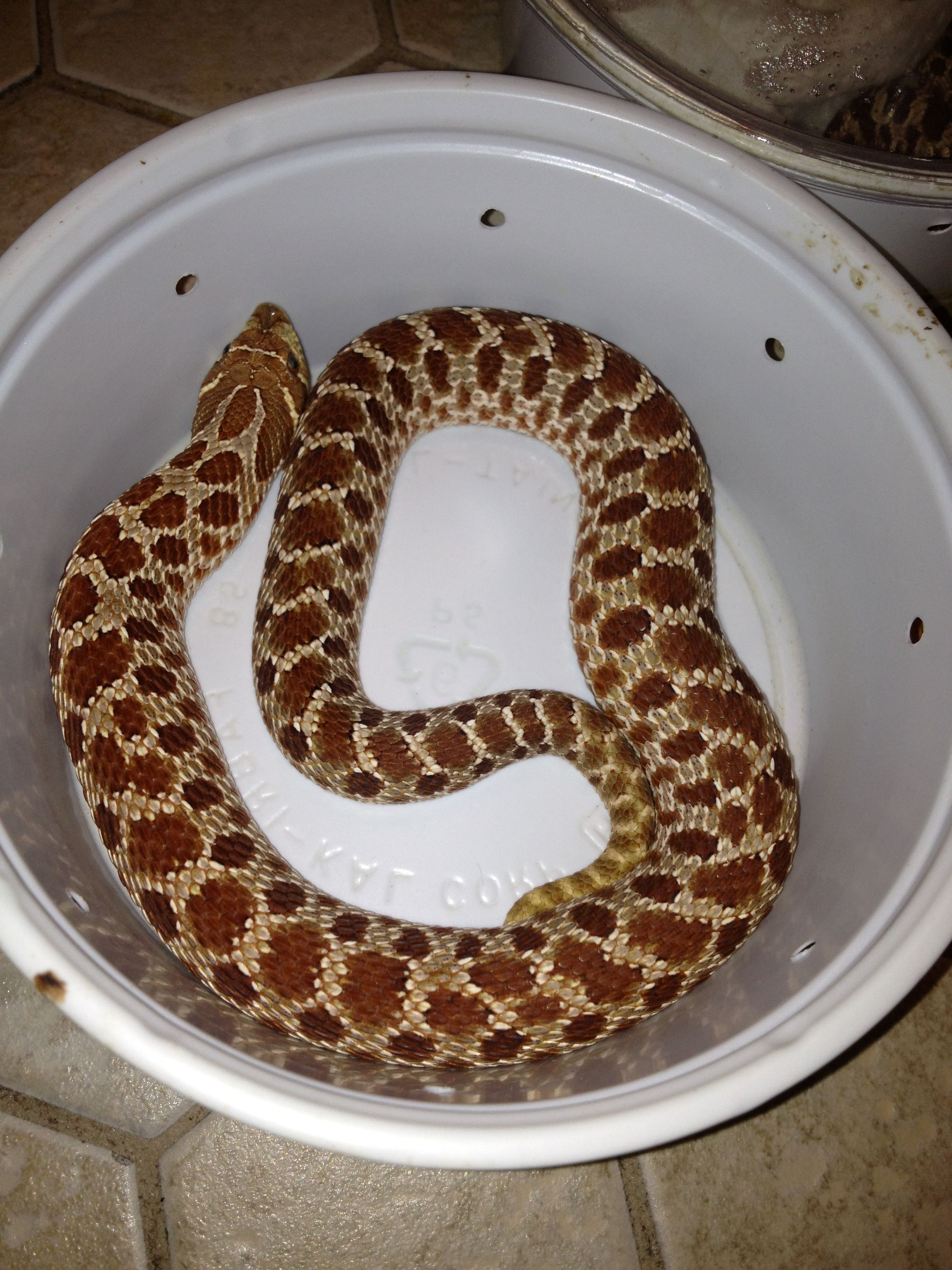 Western hognose extreme red het albino | Reptile Lovers | Animals