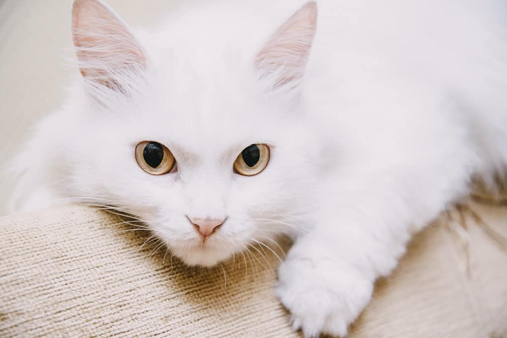 Turkish Van The Ultimate Guide to their History, Types