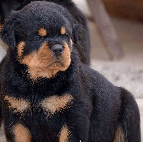 Pin By Cdev On Rottweilers Dog Breeds Pets Rottweiler Puppies