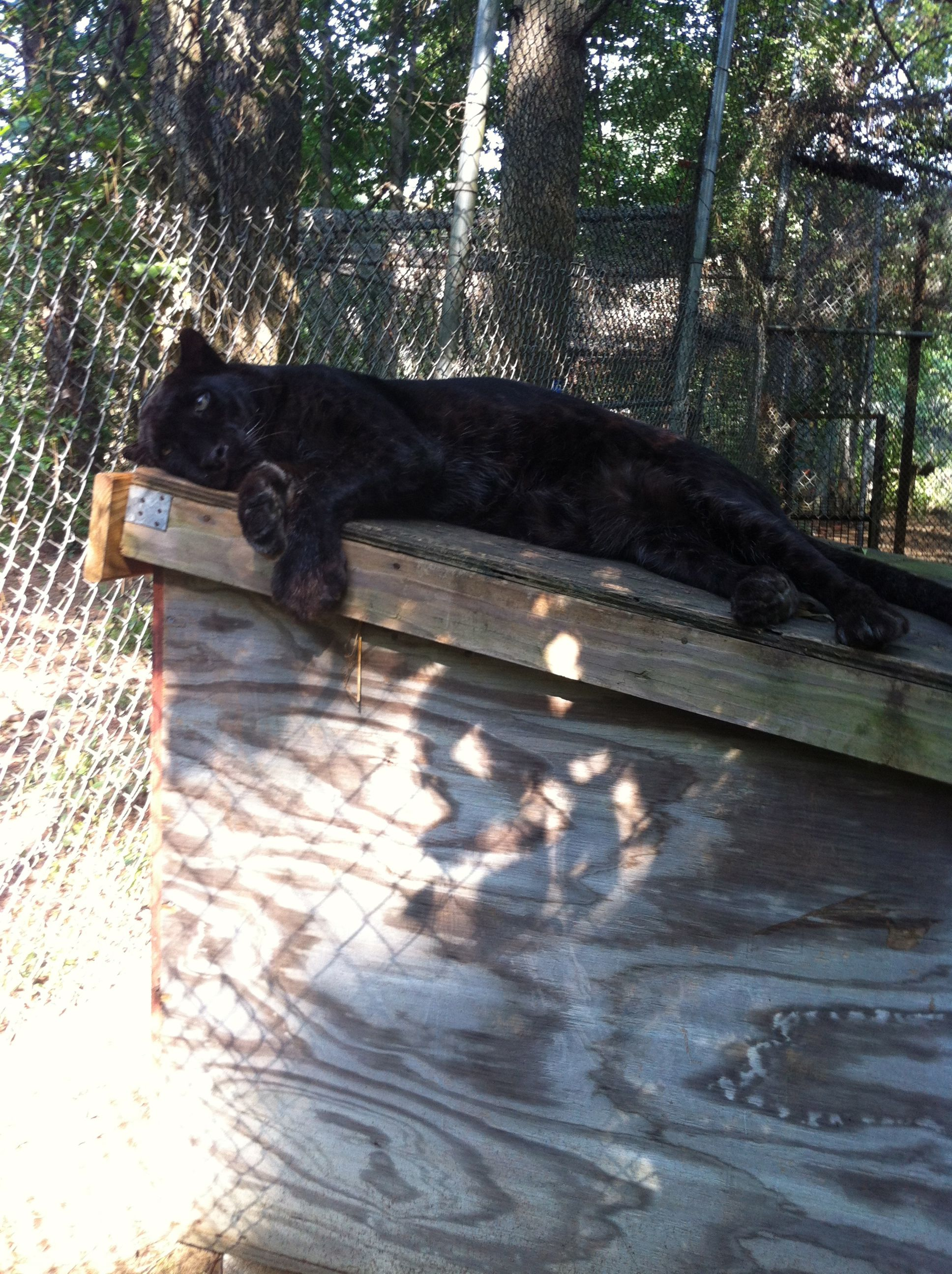 Shadow The Black Leopard With Images