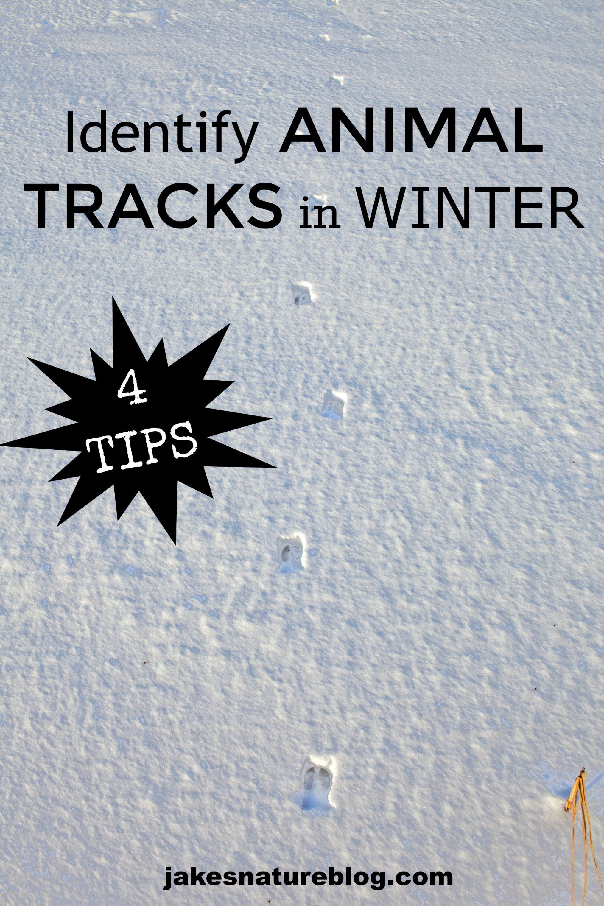 4 Tips To Help Identify Animal Tracks In Winter