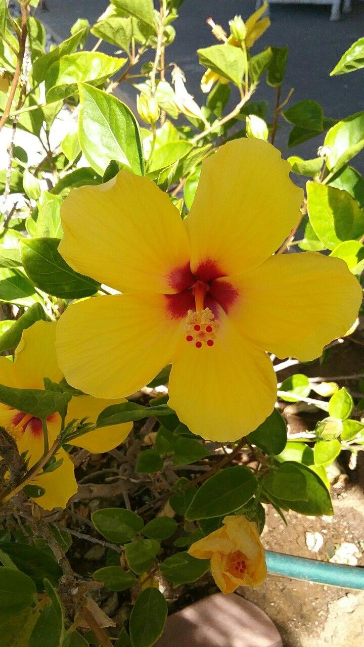 Hibiscus Yellow Flower Hibiscus Pinterest Hibiscus Flowers