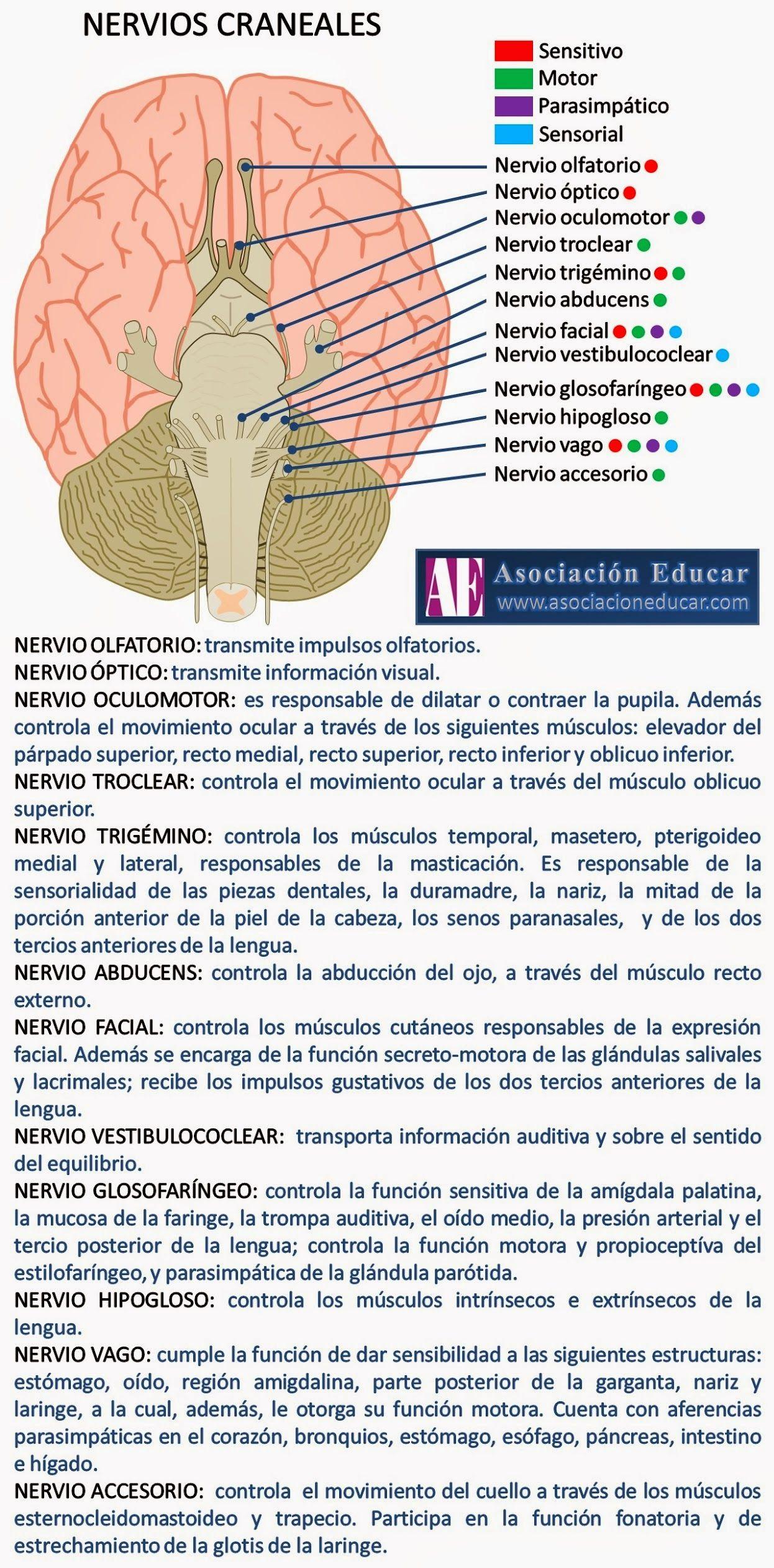 N CRANEALES | Neuroanato | Pinterest | Datos, Medicina y Salud