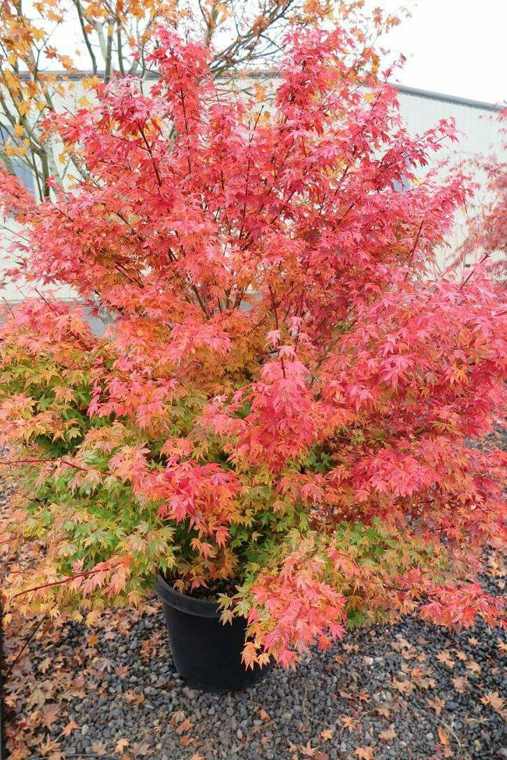How to care for a fern leaf japanese maple - Coonara Pygmy Japanese Maple Fall Colors In The Nursery Munn S Nursery Brooks Oregon