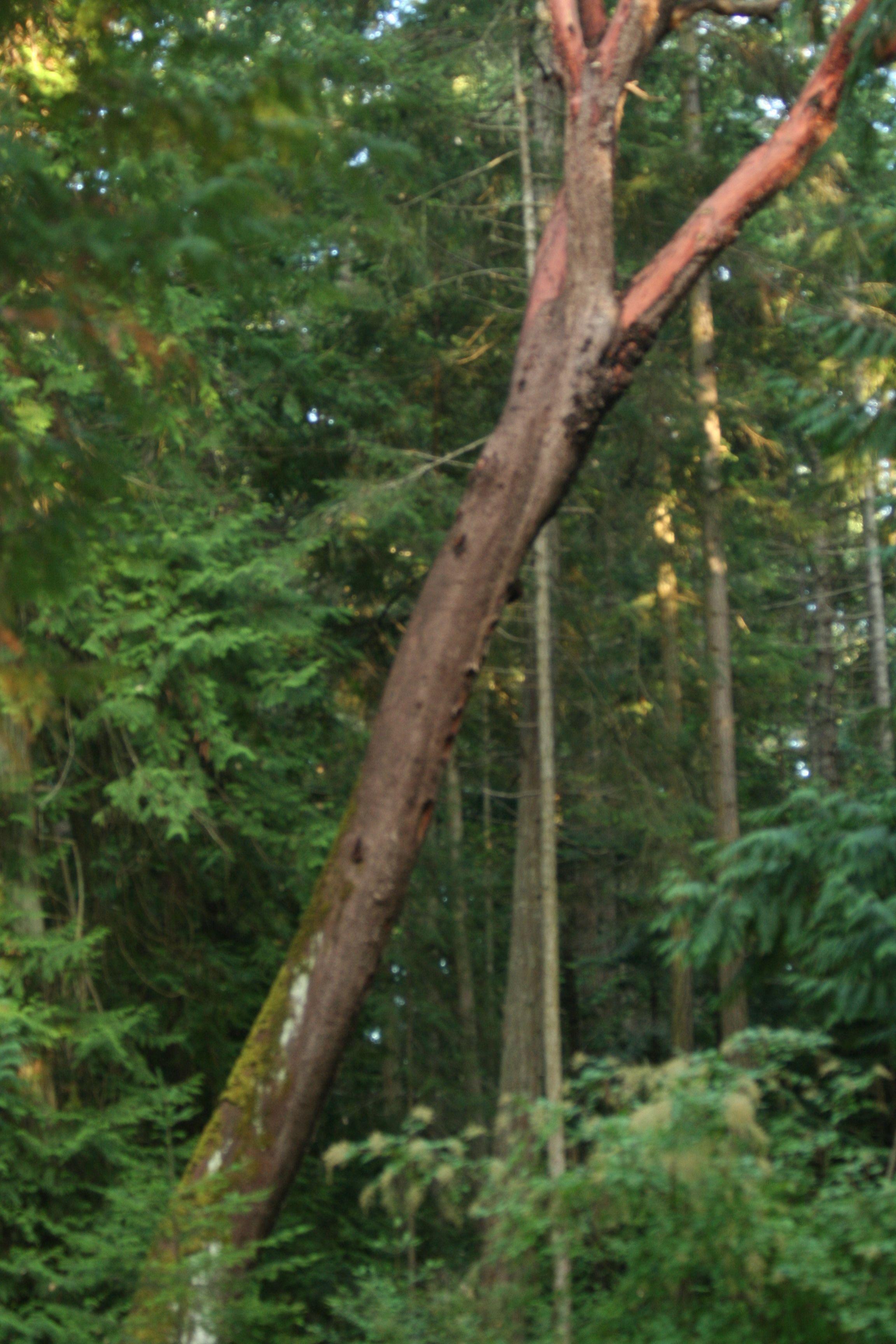 Arbutus Tree, Vancouver Island