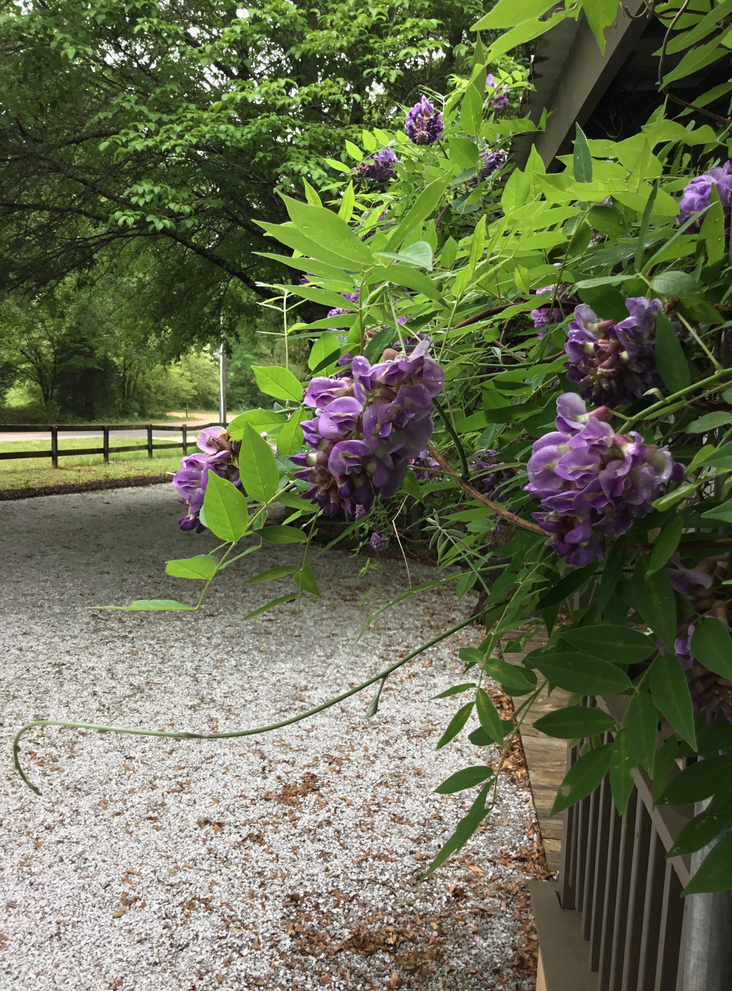 My Wisteria Is Blooming Every Year I Can T Wait For These Blooms And Their Sweet Scent Sweet Scents Wisteria Plants
