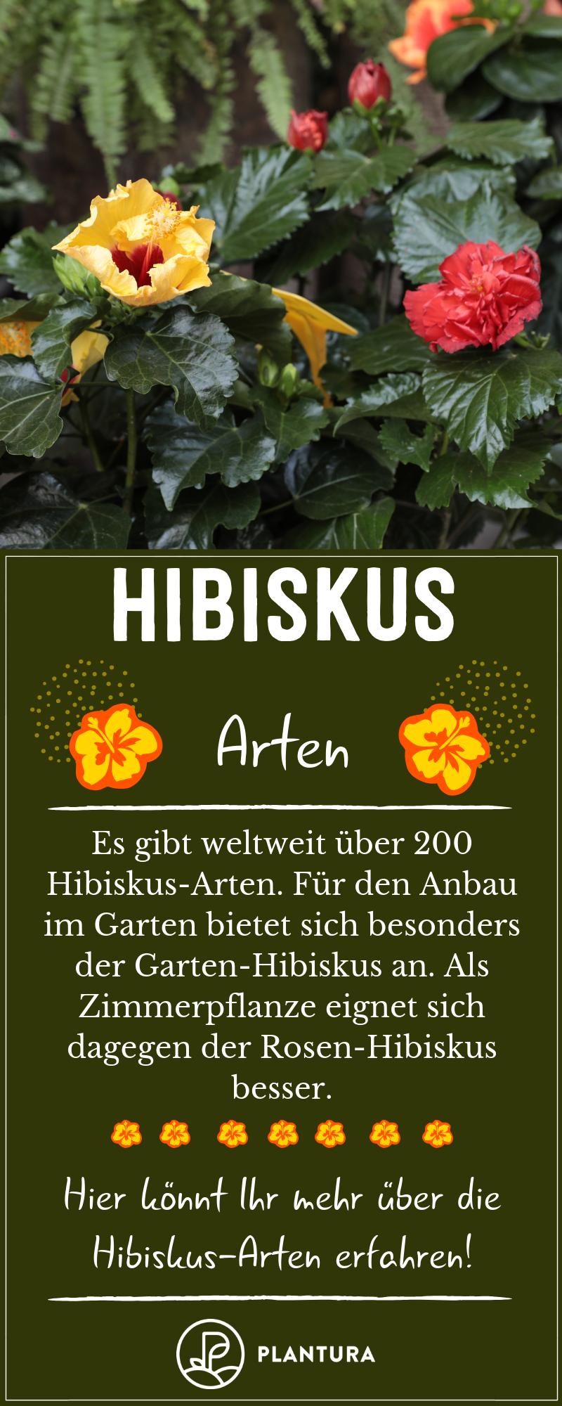 Hibiskus: Alle Tipps für die perfekte Blüte #orchideenpflege